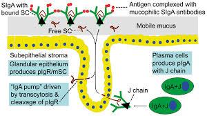 CHRONIC Stress + Gut Health + Immune System SIgA